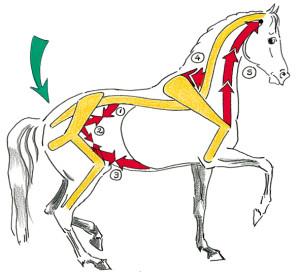 Das Pferd piaffiert hauptsächlich mit den Hanken und der Muskulatur der Unterlinie (Beuger der Hinterhand: 1 Lendenmuskel, 2 Hüftbeuger,  3 Bauchmuskeln. Heber des Halses: 4 gezahnter Halsmuskel. Heber der Vorderbeine: 5 Arm-Kopf-Muskel).